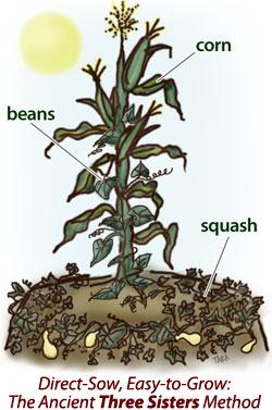 Three Sisters - corn, beans, squash