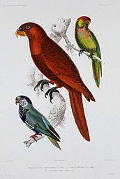 Print of Three Parrots of Oceania by A. Dumenil