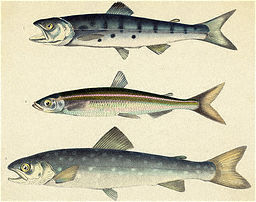 Three Varieties Of Salmon