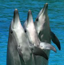 dolphinsthree